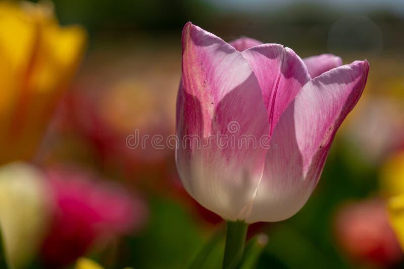 Roze tulpentribunes voor een tulpengebied stock foto