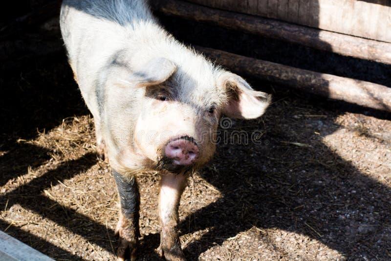 Roze varken met vuile snuit Dorpsscène met grappig varken Grote dom stock foto's