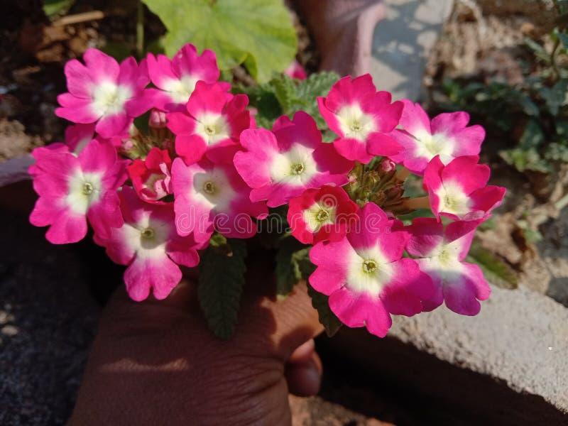 Roze verbena-bloemplant in de teelt van tuinbouwgewassen in Kanpur royalty-vrije stock afbeelding