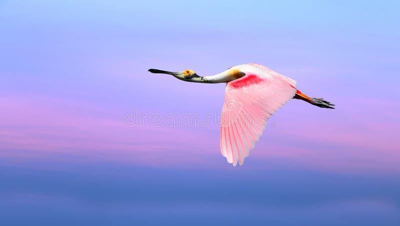 Roze vogel tegen mooi roze en blauw hemelpanorama stock foto's