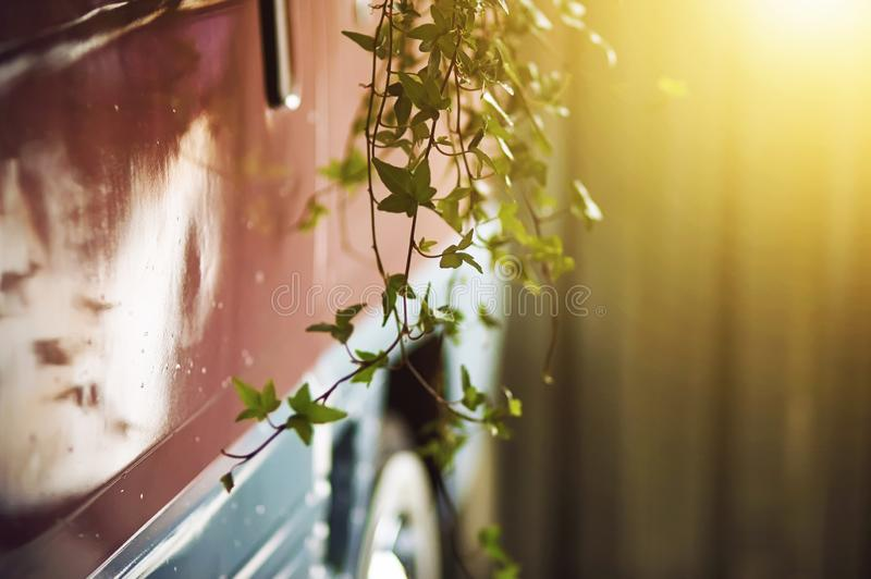Roze vrachtwagen waarop als decoratie de hangende klimop zich vertakt royalty-vrije stock afbeeldingen