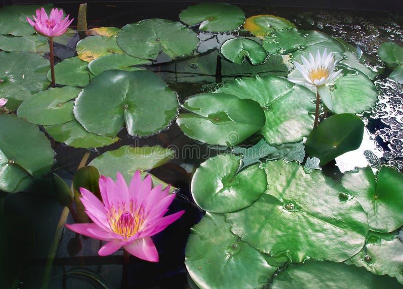 Roze water liles stock foto