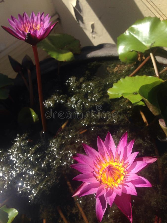Roze water lilly stock afbeelding