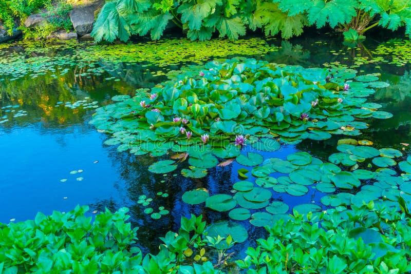 Roze Water Lily Pads Van Dusen Garden Vancouver Brits Colombia royalty-vrije stock fotografie