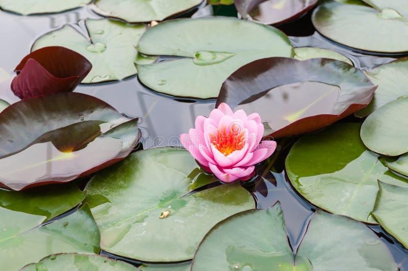 Roze Waterlelie stock foto