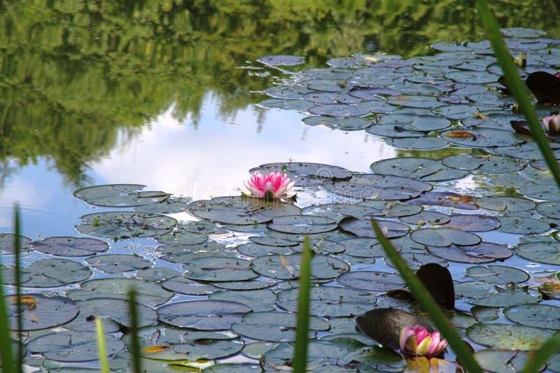 Roze waterlelie in een vijver stock foto