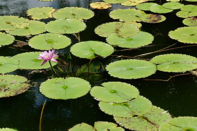 Roze waterlelie in een vijver royalty-vrije stock fotografie