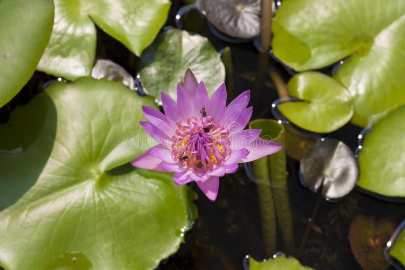 Roze waterlelie en bijen royalty-vrije stock afbeelding