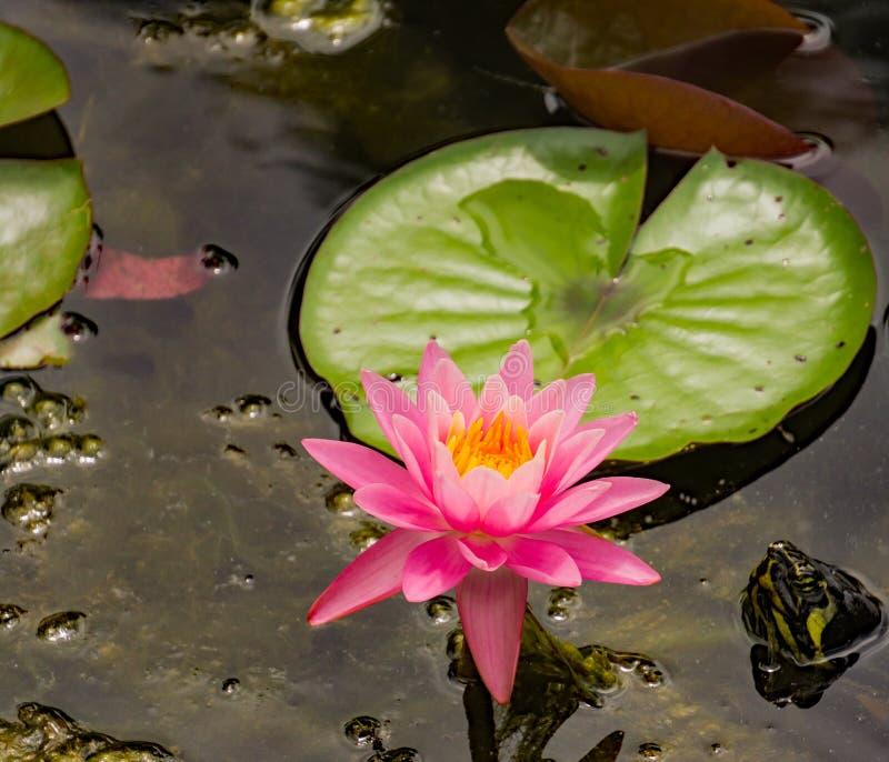 Roze Waterlelie en een Schildpadhoofd royalty-vrije stock afbeeldingen