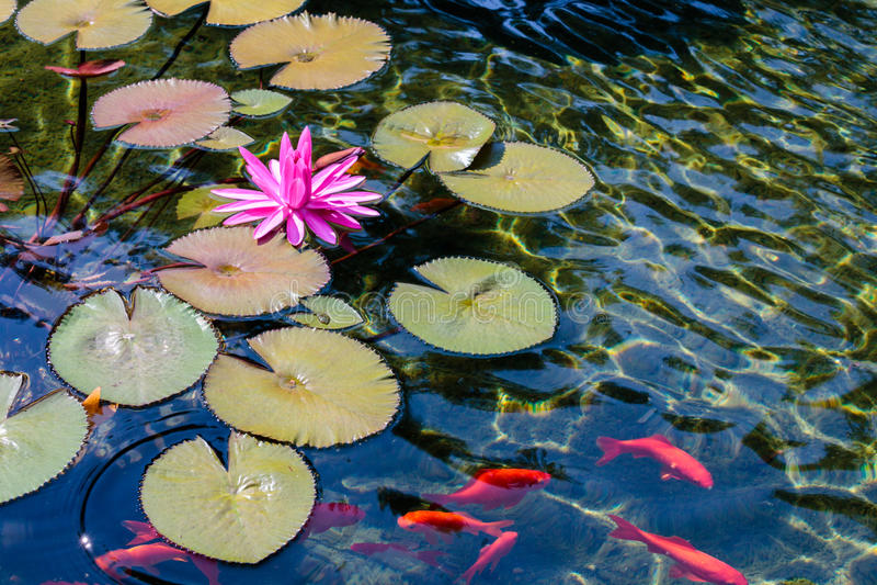 Roze Waterlelie en Goudvis royalty-vrije stock fotografie