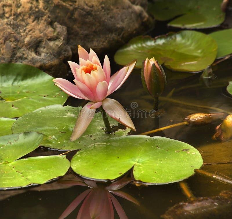 Roze Waterlelie met de Vlieg van de Draak royalty-vrije stock fotografie