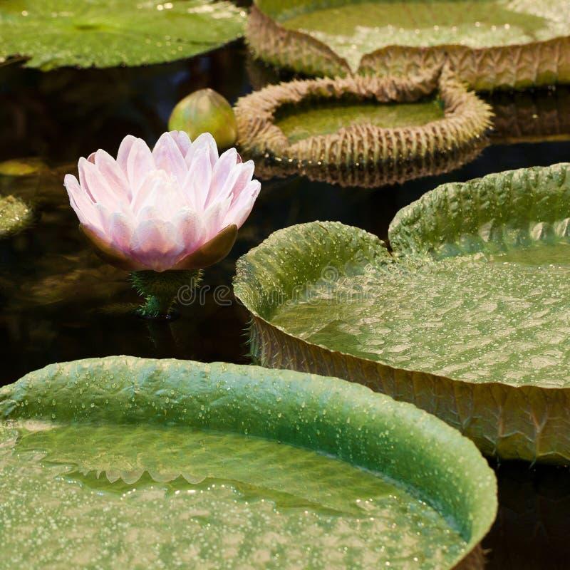 Roze waterlelie met grote ronde bladeren royalty-vrije stock afbeelding