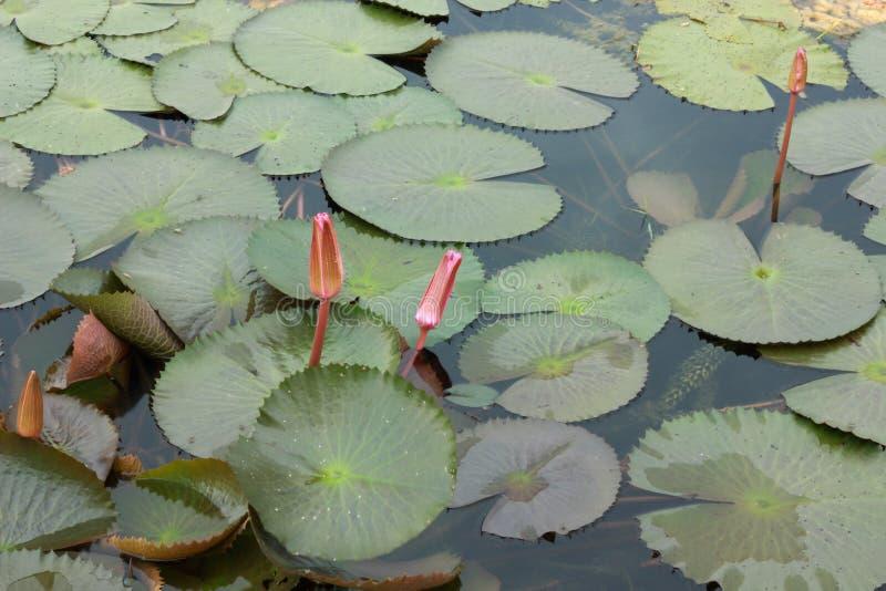 Roze waterlelie met lotusbloemblad op vijver royalty-vrije stock foto