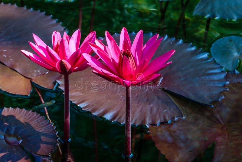 Roze Waterlelie in Ochtendlicht stock afbeeldingen