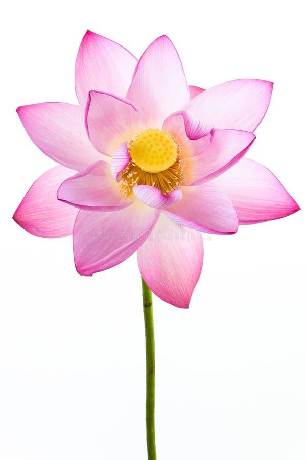 Roze Waterleliebloem (lotusbloem) En Witte Backgroun Stock Afbeeldingen