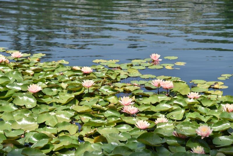 Roze waterlelies stock afbeeldingen