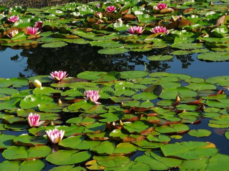 Roze waterlelies en hun bladeren royalty-vrije stock fotografie