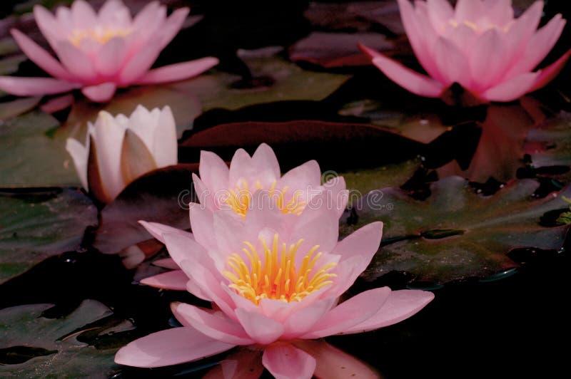 Roze Waterlillies stock afbeeldingen