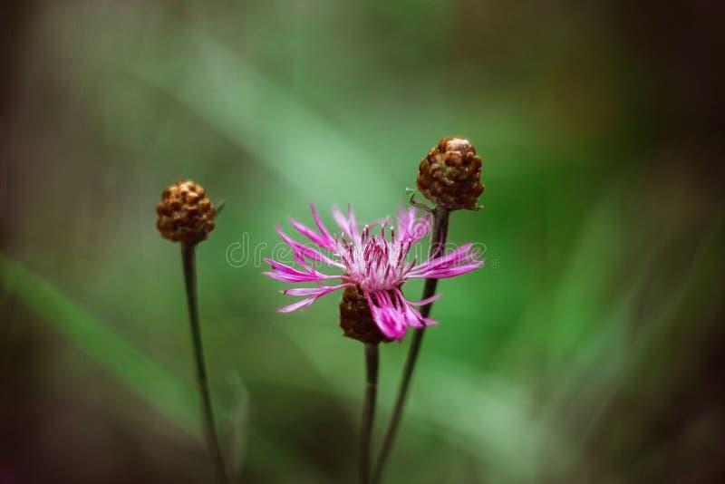 Roze weidekorenbloem op een heldergroene vage achtergrond Het bruine knoopkruid van de weidebloem met bruine knoppen Op een zonni stock foto's