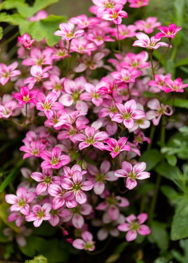 Roze Welse Saxifraga nam bloemen groeiend in een rockery, alpiene tuin toe royalty-vrije stock fotografie