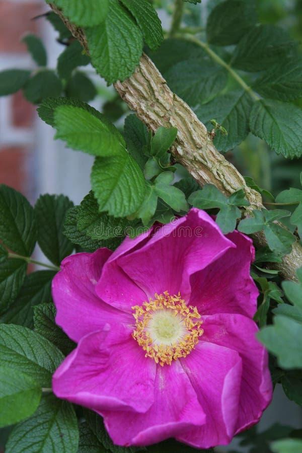 Roze wild nam op het sluiten toe royalty-vrije stock foto's