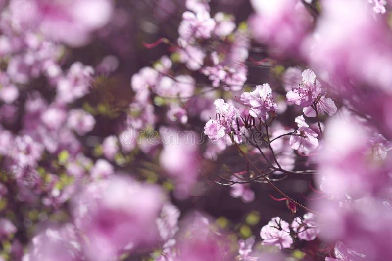 Roze wilde azalea stock foto's