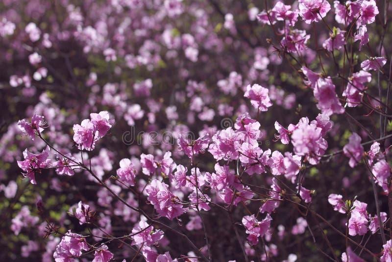 Roze wilde azalea stock fotografie