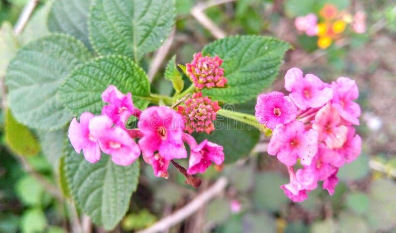 "roze wilde bloem বনঠ""ৠ ঠ² stock fotografie"