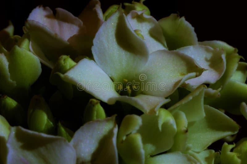 Roze Witte tactvol Gekrulde Bloemblaadjes stock afbeeldingen