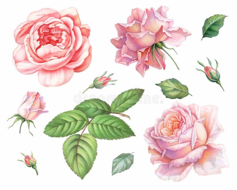 Roze witte uitstekende die rozenbloemen op witte achtergrond worden geïsoleerd De illustratie van de kleurpotloodwaterverf royalty-vrije illustratie