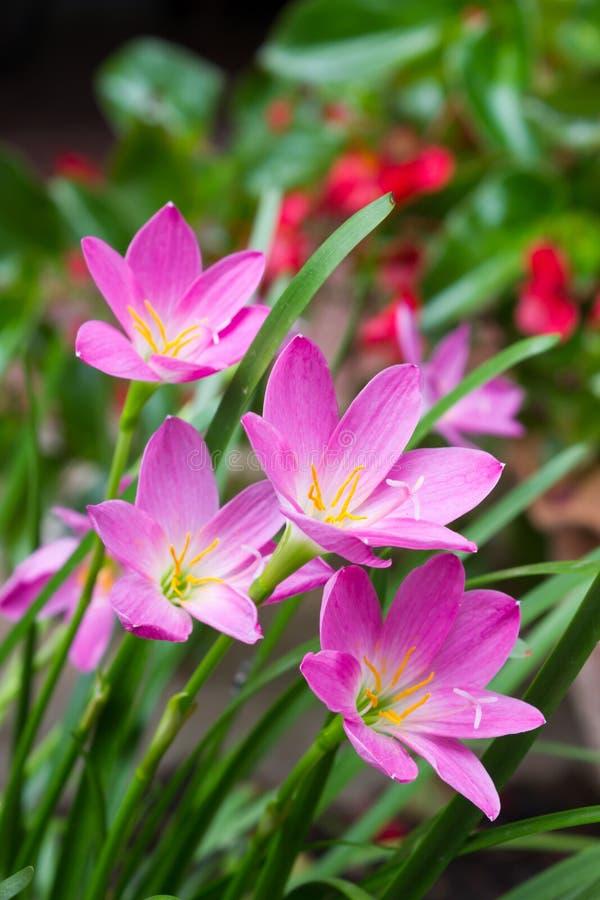 Roze zephyranthesbloemen Regenlelie royalty-vrije stock afbeelding