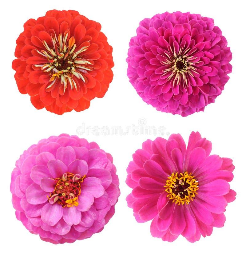 Roze Zinnia royalty-vrije stock afbeeldingen