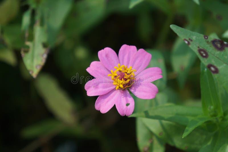 Roze Zinnia royalty-vrije stock afbeelding