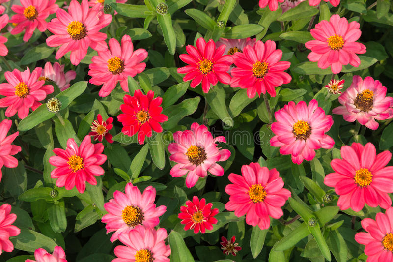 Roze Zinnias royalty-vrije stock foto
