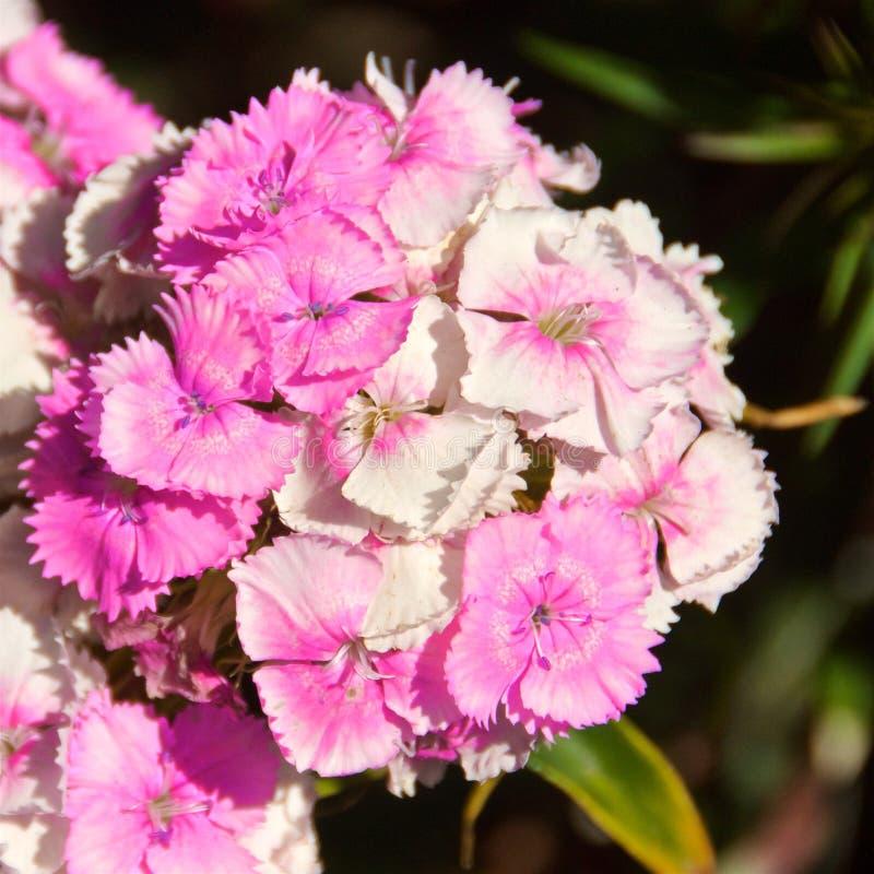 Roze zoete Williams-bloemen die in Chili bloeien stock foto