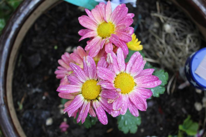 Rozeachtige gele bloem royalty-vrije stock afbeeldingen