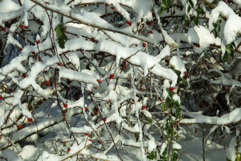 Rozebottel op de sneeuwtakken stock afbeeldingen