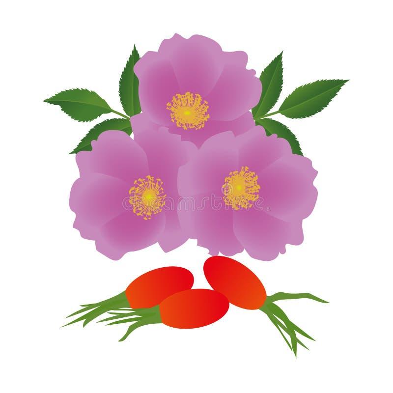 Rozebottelbloemen met bladeren en bessen op witte achtergrond stock illustratie