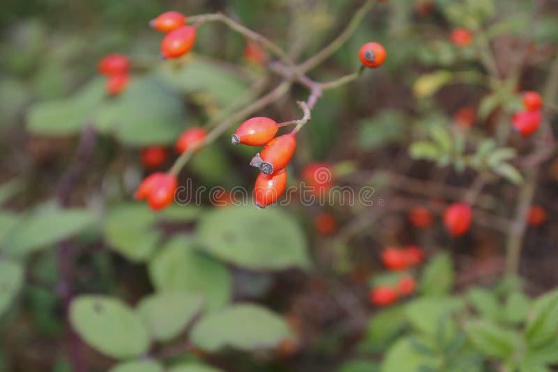 Rozebottelfruit, in de struik, met vage achtergrond, in de herfst stock afbeelding