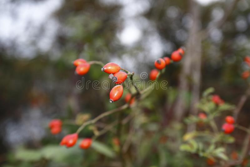 Rozebottelfruit, in de struik, met vage achtergrond, in de herfst stock foto