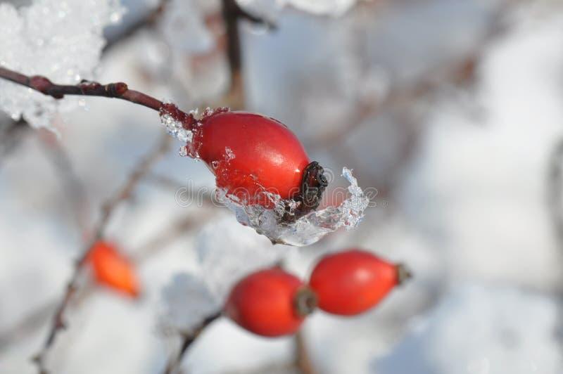 Rozebottels in de sneeuw stock foto's