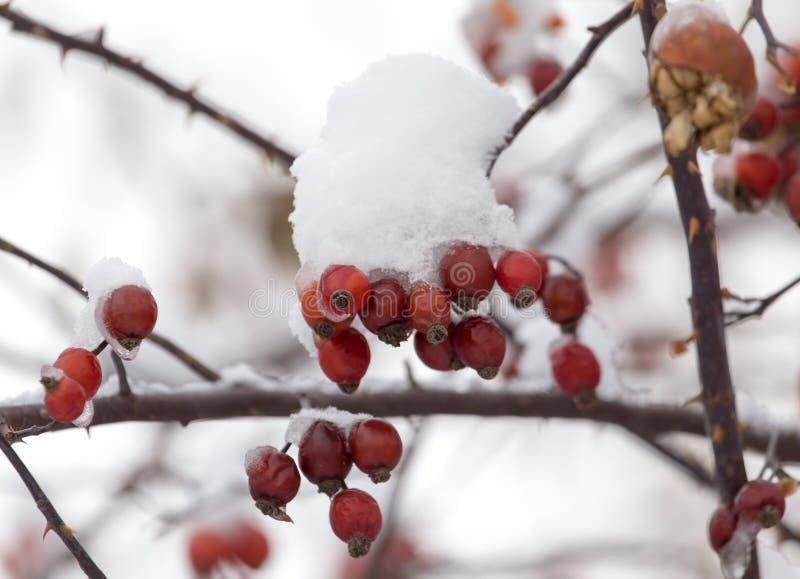 Rozebottels in de sneeuw in de winter stock afbeeldingen