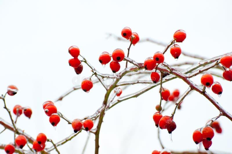 Rozebottels in de Winter royalty-vrije stock fotografie