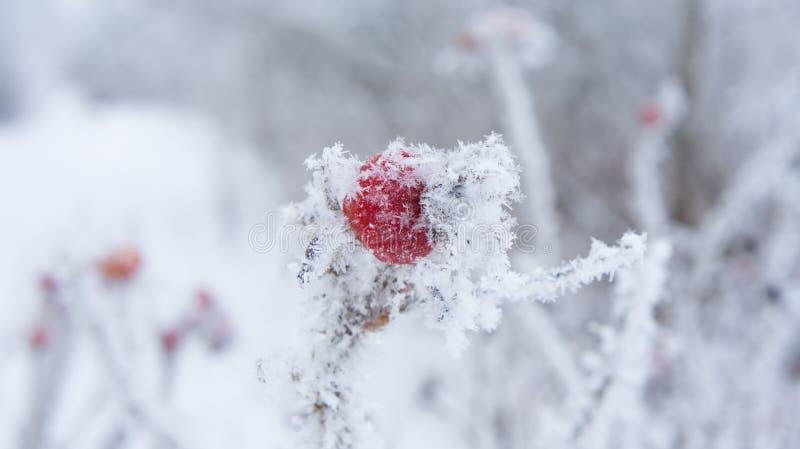 Rozebottels in vorst en sneeuwvlokken stock afbeeldingen