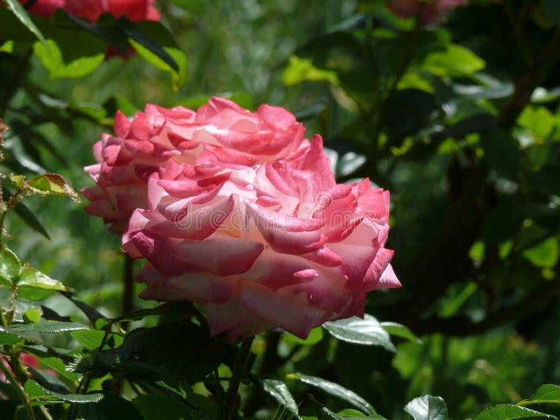 rozen stock foto's