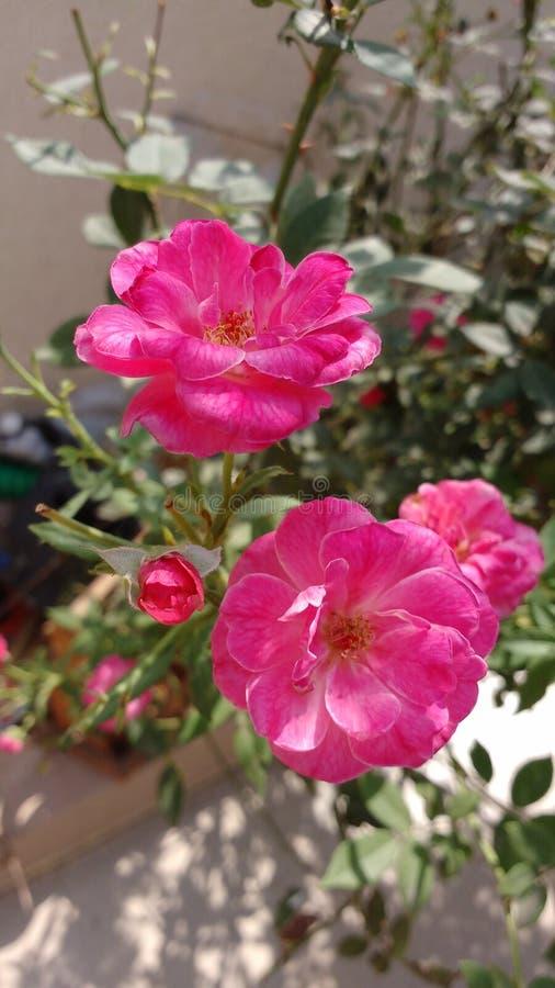 rozen stock fotografie