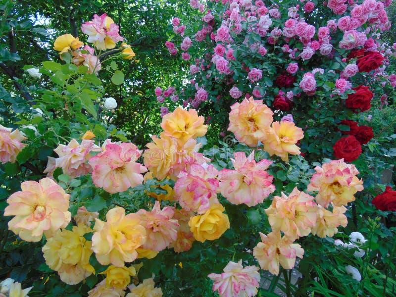 Rozen in de de zomertuin royalty-vrije stock afbeelding