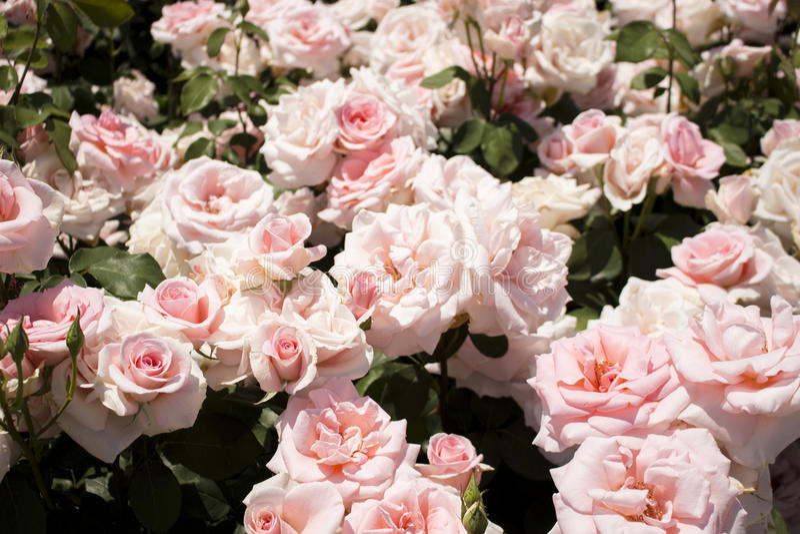 Rozen in de tuin royalty-vrije stock afbeelding