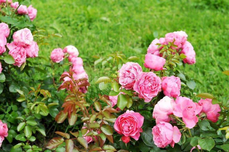 Rozen in de tuin stock afbeelding