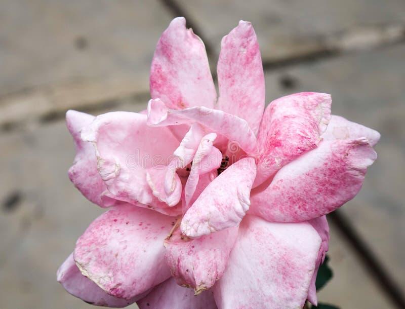 Rozen die bij de lentetuin bloeien royalty-vrije stock afbeeldingen
